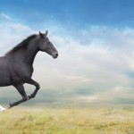 Black horse runs full gallop on field